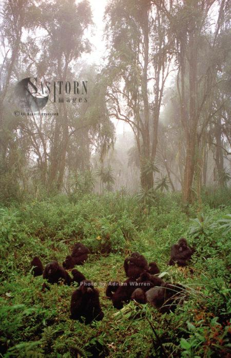Mountain Gorilla (Gorilla G. Beringei), Group Resting, Virunga Volcanoes, Rwanda