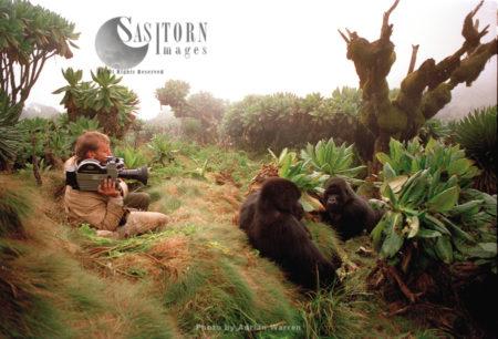 Mountain Gorilla (Gorilla G. Beringei), Documentary Filming By Neil Rettig, Virunga Volcanoes, Rwanda