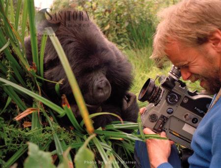 Mountain Gorilla (Gorilla G. Beringei), With Neil Rettig Filming, Virunga Volcanoes, Rwanda