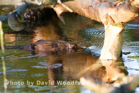 European Beaver (Castor Fiber), Bevis Trust, Welsh Beaver Project, Carmarthenshire, Southwest Wales