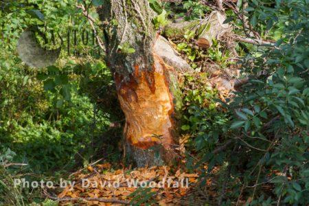 European Beaver ( Castor Fiber), Bevis Trust, Welsh Beaver Project, Carmarthenshire, Southwest Wales