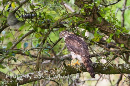 Female Sparrowhawk (Accipiter Nisus), Hiding In Willow, Prior To Hunting