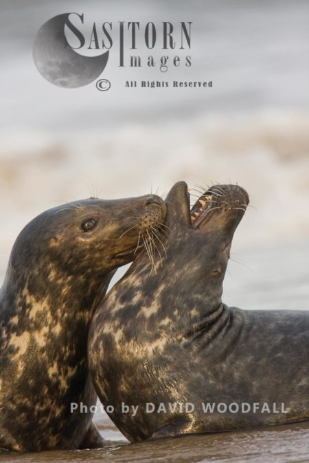Grey Seals  (Halichoerus Grypus), Adults Play Fight, Lincolnshire Wildlife Trust, Donna Nook, Lincolnshire