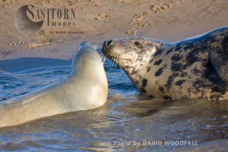 Grey Seals (Halichoerus Grypus), Cow And Pup, Lincolnshire Wildlife Trust, Donna Nook, Lincolnshire