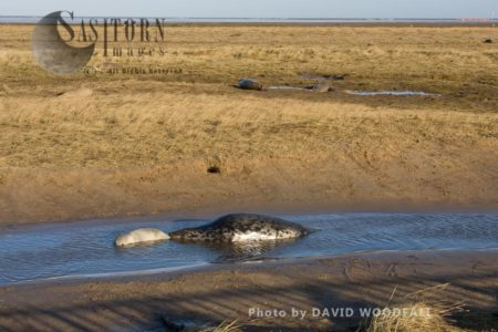 Grey Seals  (Halichoerus Grypus), Female And Young, Lincolnshire Wildlife Trust, Donna Nook, Lincolnshire