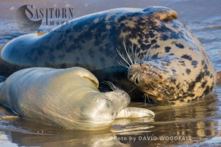 Grey Seal (Halichoerus Grypus), Cow And Pup, Lincolnshire Wildlife Trust, Donna Nook, Lincolnshire