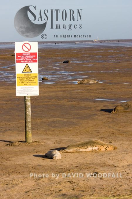 A Colony Of Grey Seal (Halichoerus Grypus) With Warning Sign, Lincolnshire Wildlife Trust, Donna Nook, Lincolnshire
