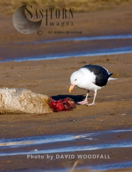 Dead Grey Seal (Halichoerus Grypus) With A Sea Gull, Lincolnshire Wildlife Trust, Donna Nook, Lincolnshire