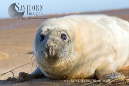 Grey Seal (Halichoerus Grypus), A Seal Pup, Lincolnshire Wildlife Trust, Donna Nook, Lincolnshire