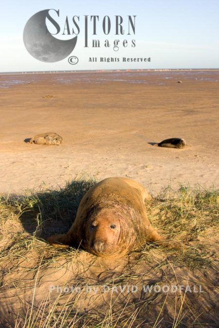 Grey Seal (Halichoerus Grypus), Male Seal, Lincolnshire Wildlife Trust, Donna Nook, Lincolnshire