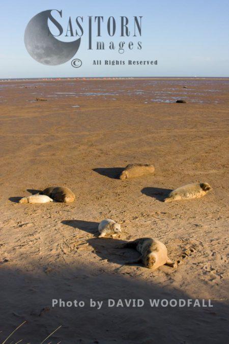 A Colony Of Grey Seals (Halichoerus Grypus), Lincolnshire Wildlife Trust, Donna Nook, Lincolnshire