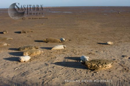 A Colony Of Grey Seals (Halichoerus Grypus), Lincolnshire Wildlife Trust, Donna Nook, Lincolnshire
