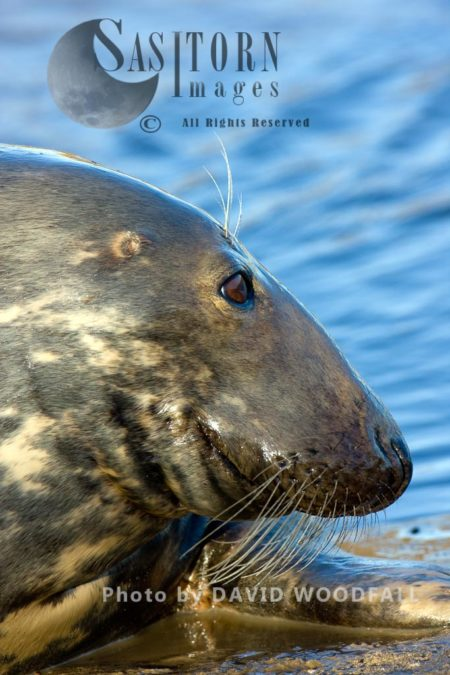 Grey Seal (Halichoerus Grypus), Close Up Of Female Cow Face, Lincolnshire Wildlife Trust, Donna Nook, Lincolnshire