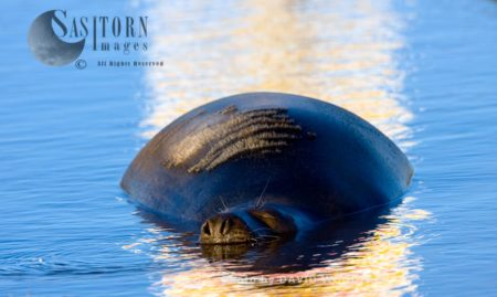 Grey Seal (Halichoerus Grypus), Lincolnshire Wildlife Trust, Donna Nook, Lincolnshire
