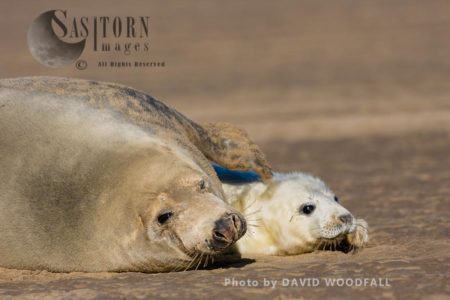 Grey Seal (Halichoerus Grypus) Female And Pup, Lincolnshire Wildlife Trust, Donna Nook, Lincolnshire