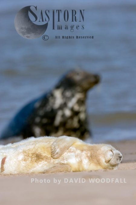 Grey Seal (Halichoerus Grypus), Pup Resting Lincolnshire Wildlife Trust, Donna Nook, Lincolnshire