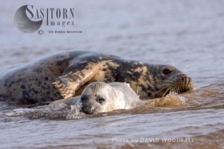 Grey Seals (Halichoerus Grypus), Cow And Pup Playing And Grooming, Lincolnshire Wildlife Trust, Donna Nook, Lincolnshire