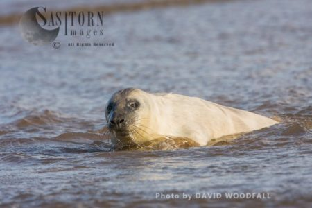 Grey Seal (Halichoerus Grypus) Pup, Lincolnshire Wildlife Trust, Donna Nook, Lincolnshire