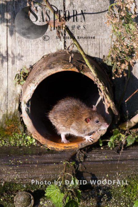Brown Rats (Rattus Norvegicus), Norfolk, England