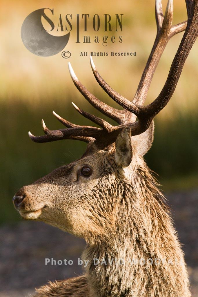Red Deer (Cervus elaphus) on moorland and blanket bog, Alladale Wilderness Reserve, Allendale Estate, Highlands, Scotland