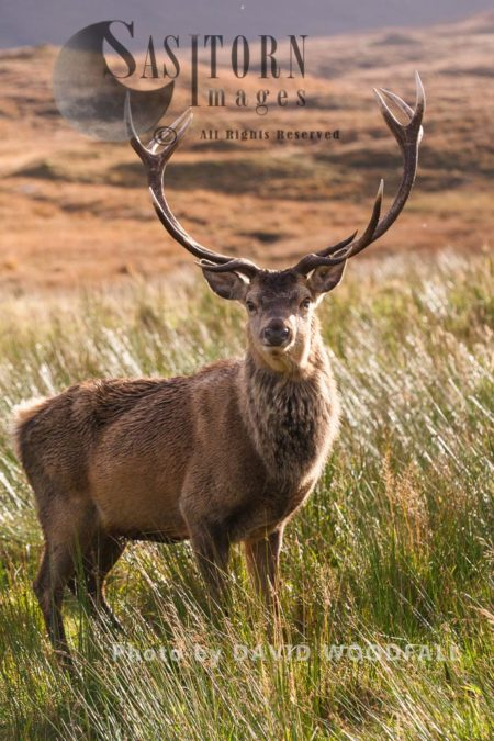 Red Deer (Cervus Elaphus) On Moorland And Blanket Bog, Alladale Wilderness Reserve, Allendale Estate, Highlands, Scotland