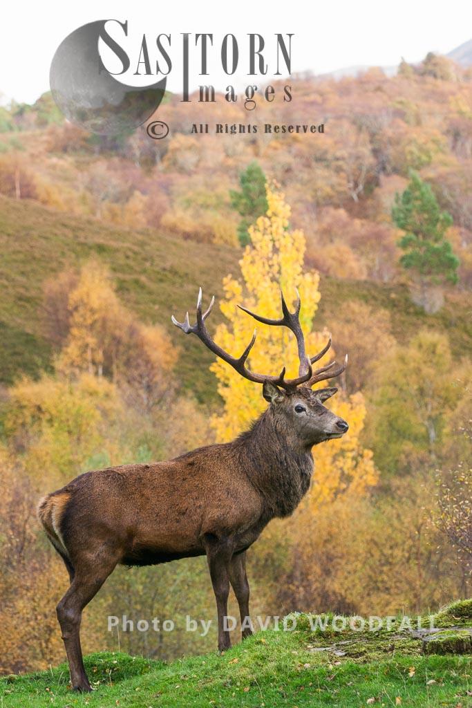Red Deer (Cervus elaphus) on moorland and blanket bog, Alladale Wilderness Reserve, Allendale Estate, Highlands, Scotland Highlands, Scotland