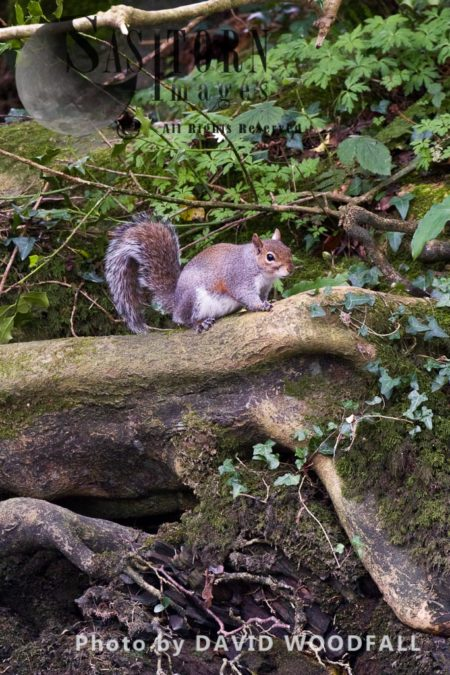 Grey Squirrel (Scuirius Carolinensis), Non Native, Introduced Species, A Threat To The Survival Of The Native Red Squirrel