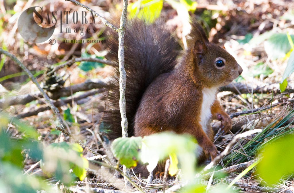 Eurasian Red Squirrel (Sciurus vulgaris), HPB Henllys, north-west coast of Wales, the Isle of Anglesey