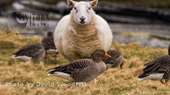 Geese And Agriculture