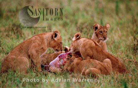 Lion (Panthera Leo), Lionesses And A Cub Feeding On A Kill, Akagera National Park, Rwanda