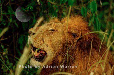 Lion (Panthera Leo), Akagera National Park, Rwanda