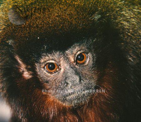 Red Howler Monkey (Alouatta Seniculus), Llanos, Venezuela