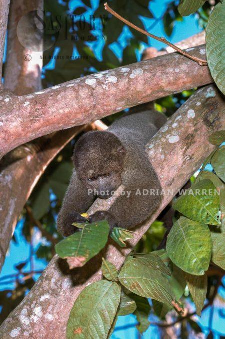 Woolly Monkey (Lagothrix Lagothricha), Rio Jurua, Brazil