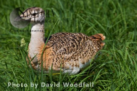 Great Bustard Chicks (Otis Tarda), Part Of The Great Bustard Group Reintroduction Project Hand Rearing And Releasing Into Wild To Create A Sustainable Population. Wiltshire, England