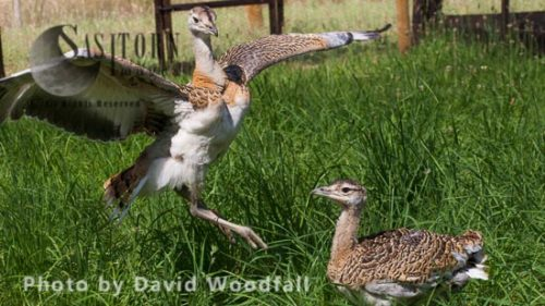 Great Bustard Project