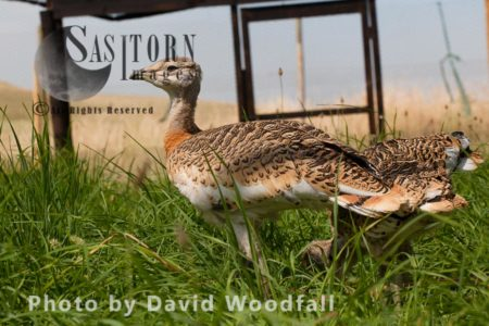 Great Bustard Chicks (Otis Tarda), Part Of The Great Bustard Group Reintroduction Project Hand Rearing And Releasing Into Wild To Create A Sustainable Population.
