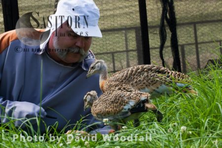Great Bustard Chicks (Otis Tarda ) Being Fed With Lucerne Leaves, The Great Bustard Group Research Work With David Waters