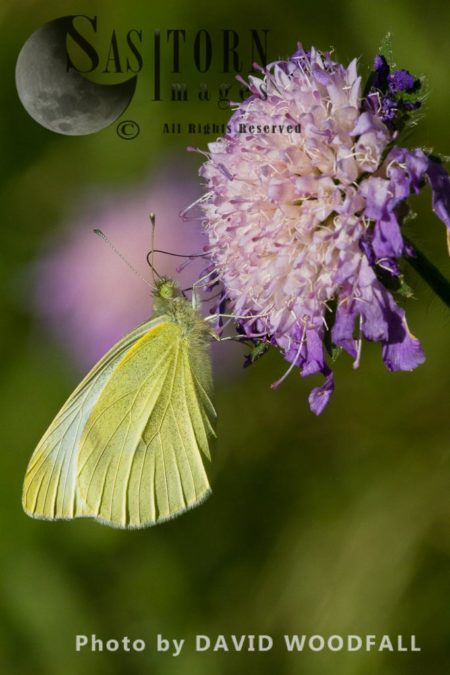 Cabbage White Butterfly (Pieris Rapae) On Field Scabious Flower (Knautia Arvensis )