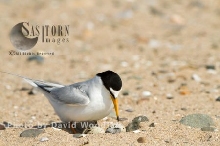 Little Tern (Sterna Albifrons) Female Approaching Nest On Beach, Berneray, North Uist, Outer Hebrides