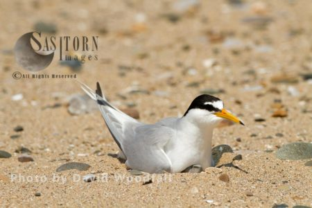 Little Tern (Sterna Albifrons) Female Brooding (sitting On Eggs), Berneray, North Uist, Outer Hebrides