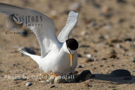 Little Tern (Sterna Albifrons) Female Arriving At Nest Ready To Brood, Berneray, North Uist, Outer Hebrides,