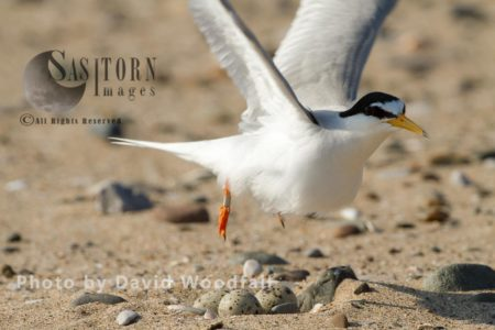 Little Tern (Sterna Albifrons) Female Inflight From Nest, Berneray, North Uist, Outer Hebrides