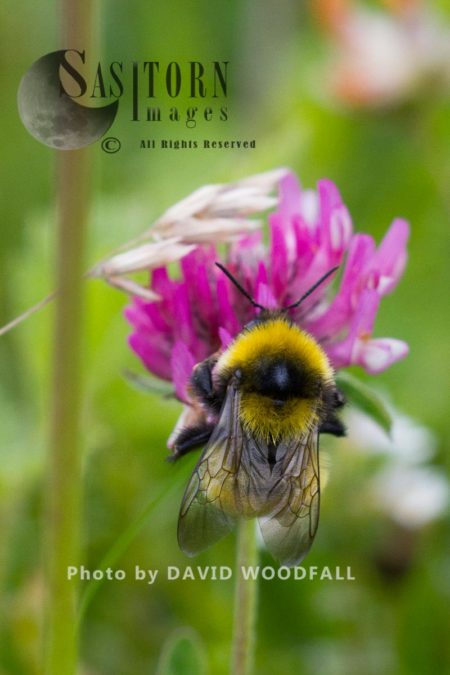 Queen Greater Yellow Bumble Bee (Bombus Distenguendus) Endemic Bee Flying From Red Clover On Machair, Berneray, North Uist, Outer Hebrides
