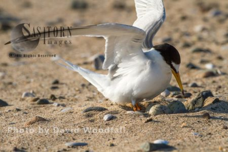 Little Tern (Sterna Albifrons) Female Arriving At Nest Ready To Brood, Berneray, North Uist, Outer Hebrides