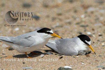 Pair Of Little Terns (Sterna Albifrons) At Nest On Beach, Berneray, North Uist, Outer Hebrides, Scotland