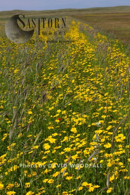 Corn Marigold (Chrysanthemum Segetum) Growing Amongst Black Oats, In Strips Of Cultivated Machair, Berneray, North Uist, Outer Hebrides