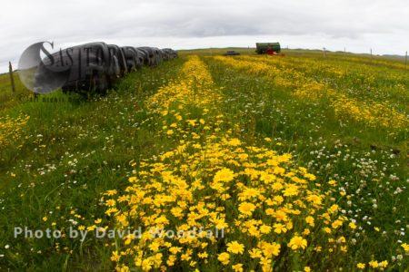 Strips Of Corn Marigold (Chrysanthemum Segetum) Rare Agricultural Weed Growing With Silage Bags ,on Machair, Habitat Off Nesting Little Terns. Berneray, North Uist, Outer Hebrides