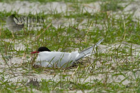 Arctic Tern (Sterna Paradisaea) At The Nest In Cultivated Machair, Berneray, North Uist