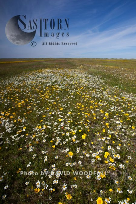 Scentless Mayweed Growing On Cultivated Machair