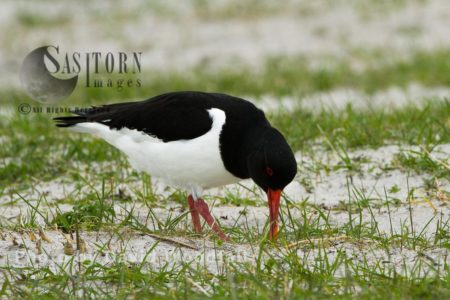 Oystercatcher Feeding On Cultivated Machair (with Black Oats). Berneray, North Uist